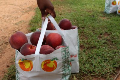 Southern Belle Farm Peaches, Southern Belle Peach Season, Summer U-Pick Farms Atlanta