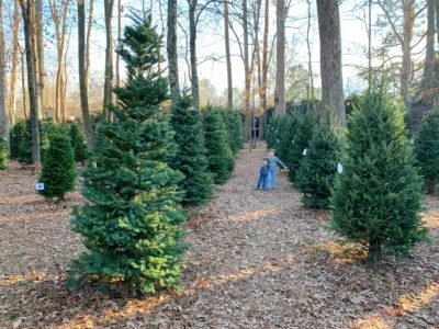 Christmas Trees Atlanta, Where To Buy An Atlanta Christmas Tree, North Fulton Christmas Tree Farm