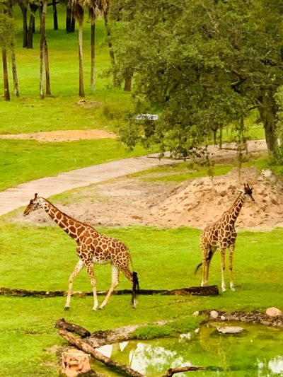 Giraffes in savanna view at Disney World